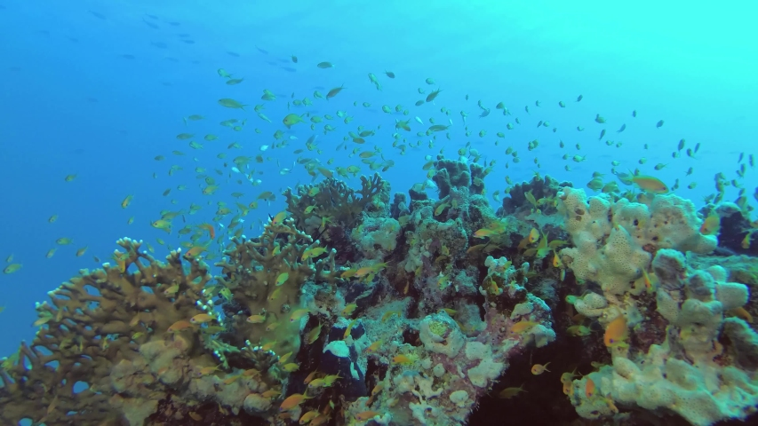 Slow motion - Large school of tropical orange fish slowly smims above beautiful coral reef on the blue water background. Lyretail Anthiasor Sea Goldie - Pseudanthias squamipinnis   | Shutterstock HD Video #1031730434