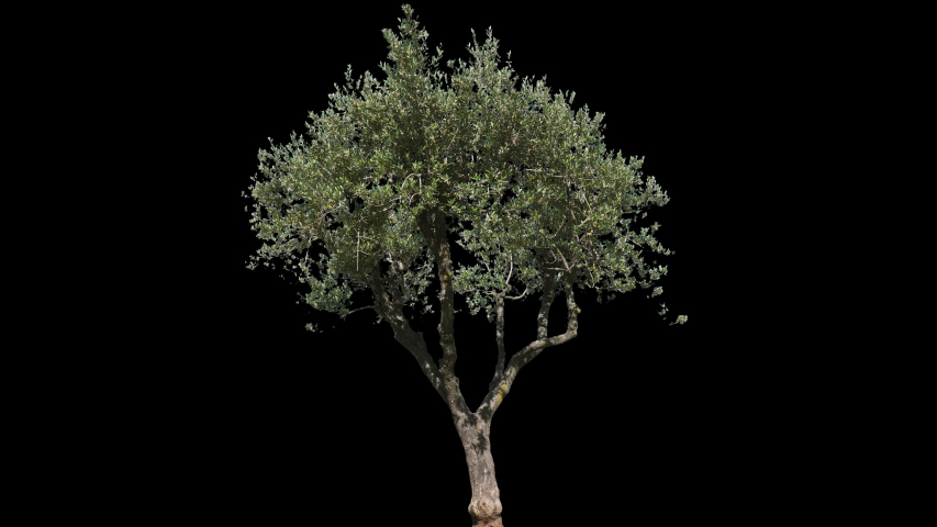 Small Olive Tree isolated on black background with alpha channel - Apple ProRes 4444 with Alpha channel, 10bit high quality footage