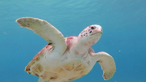Shallow sunny sea and cute swimming green sea turtle (Chelonia mydas). Snorkeling with marine wildlife, underwater video. Sea turtles footage. Blue ocean and aquatic animals.