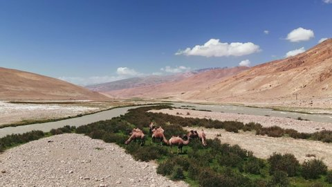 Aerial over Panji river and camels near arid desert mountains.Pamir highway silk road trip adventure in Kyrgyzstan and Tajikistan desert region,central Asia.4k drone flight establisher video