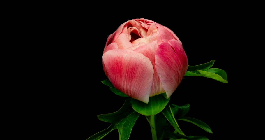 Timelapse of pink peony flower blooming on black background. Blooming peony flower open, time lapse, close-up. Wedding backdrop, Valentine's Day concept. 4K UHD video timelapse | Shutterstock HD Video #1032442034