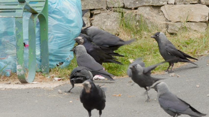 Birds eating waste food from trash bag on the roadside, bird species are Jackdaws and a Rook | Shutterstock HD Video #1032486674