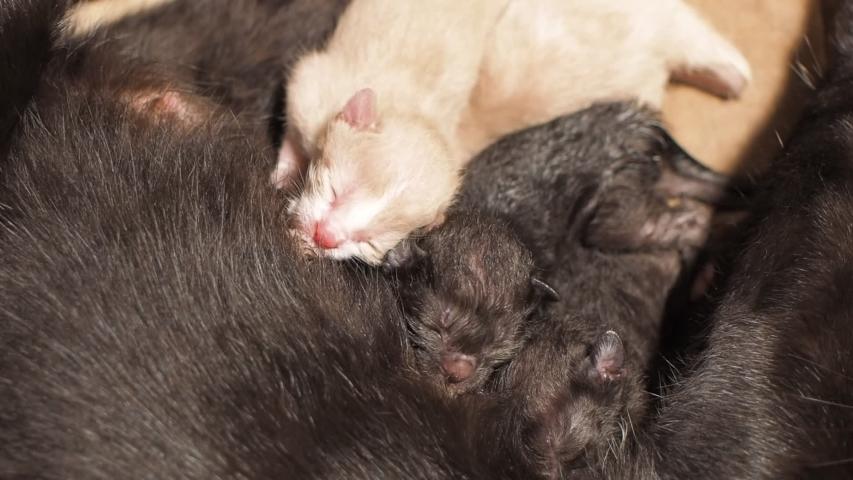New Born Kittens white and black color feeding milk from black mom cat. #1032827504