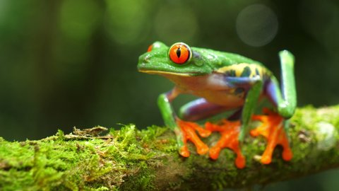 Red-eyed tree frog in its natural habitat in the Caribbean rainforest. Wildlife endangered species. Awesome colorful frogs collection. Agalychnis callidryas, known as the red-eyed treefrog,