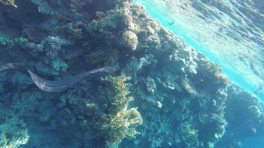 Moray eel in the coral reef, slow motion, UHD #1033230344