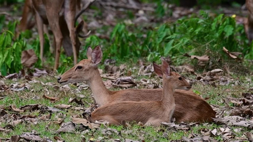 The Eld's Deer is an Endangered species due to habitat loss and hunting;  | Shutterstock HD Video #1033275224