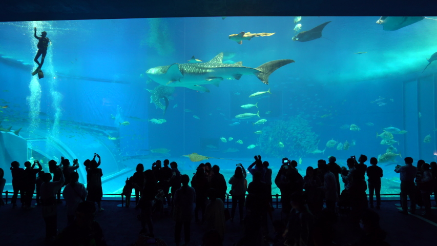 Okinawa, Japan : 24 February 2019, Tourists watching group of exotic fish in the aquarium, Churaumi aquarium is the famous tourist attraction in Okinawa Japan   | Shutterstock HD Video #1033359434