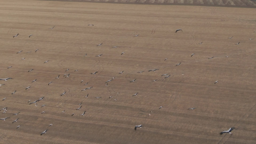 Flock of birds in flight over the harvested field. Aerial view. White stork. Drone shot of flying birds in slow motion.  | Shutterstock HD Video #1034160824