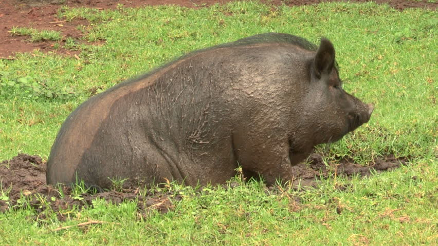 Pot-bellied pig rolling around in the mud