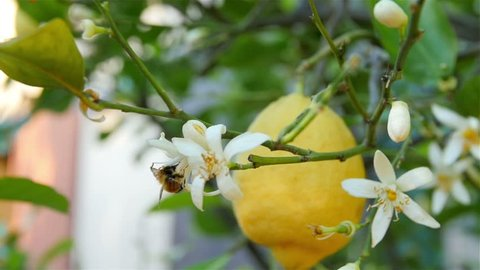 bee flying on a white lemon flower working and pollinating fruit tree slow motion