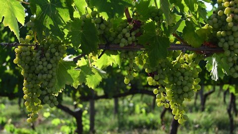 Beautiful bunch of young white grapes in a green vineyard in the Chianti region of Tuscany in the countryside near Florence. Summer season. Italy.