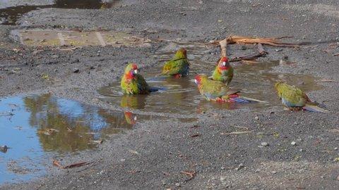 Crimson Rosellas bathing beside road FHD