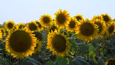 Field of sunflowers.Flowers sunflower against the sky. Cultivation of sunflowers. Sunflower swaying in the wind.