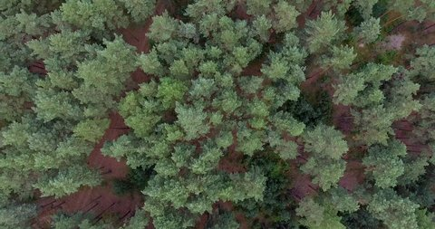 Nature top-down aerial view, flying over lush pine tree forest . Cinematic drone shot flying over pine tree forest. Rising / Setting Sun.