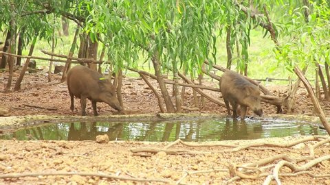 A clip of a pig drinking water from the pond