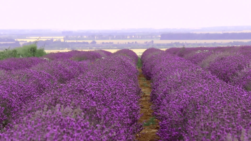 adel-miller-stripping-near-lavender-flowers