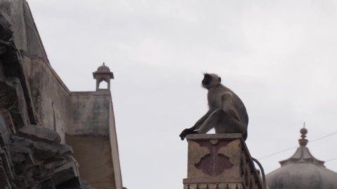 """Gray langur monkeys in Galtaji Temple (""""Monkey Temple"""") outside of Jaipur, India"""