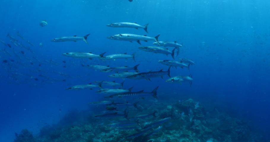 Barracuda school underwater tropical waters raja ampat indonesia   Shutterstock HD Video #1035159404