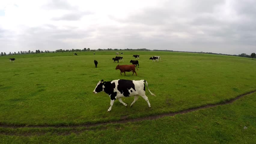 Drone flying along side running black and white Holstein milk cows on green grass field 4k very high resolution aerial recording fist person helicopter bird eye view running cows on farm grass land