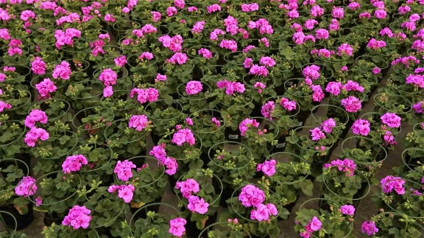 A lot of blooming flowers in pots, Modern warm for growing flowers. many blooming flowers close up | Shutterstock HD Video #1035323924