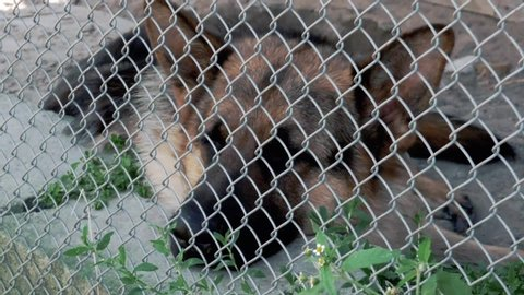 The sad dog lies on the ground in a cage. German Shepherd. A view through a metal grid in the face close up.