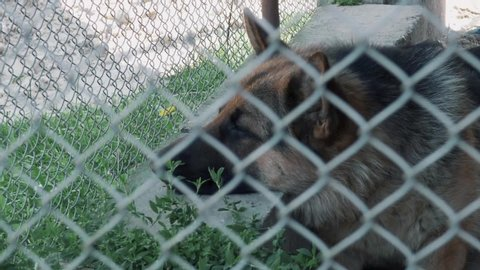 The sad dog lies on the ground in a cage. German Shepherd. View through a metal grid to the left side of the face.