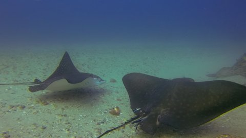 Eagle Ray Stingrays Or White Spotted Sea Rays Close Up. Spotted Eagle Rays Swimming & Gliding In Deep Blue Sea Over Sand Sea Floor. Under water Close Up Of Australian Rays Marine Life