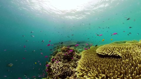 Tropical fishes and coral reef at diving, 360 panorama. Beautiful underwater world with corals and fish. Camiguin, Philippines.