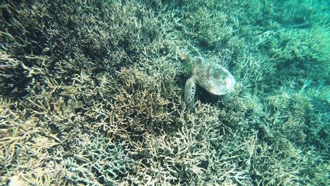 Underwater video closing up to a green sea turtle on a coral reef in the clear, shallow water at Isle Signal in New Caledonia, French Polynesia, South Pacific Ocean.