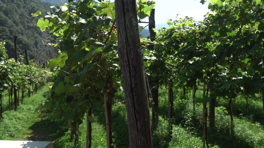 Vineyard landscape. Georgian Countryside Beautiful Farms and Vineyards. Agriculture Plantation Grapes On Vine Vineyard Georgia Harvest. 4K Shot    Shutterstock HD Video #1035933044