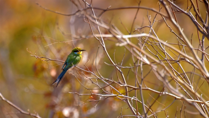 Swallow tailed bee eater on Branch Close shot of swallow tailed bee eater on Branch in Hwange National Park Zimbabwe  | Shutterstock HD Video #1036061684