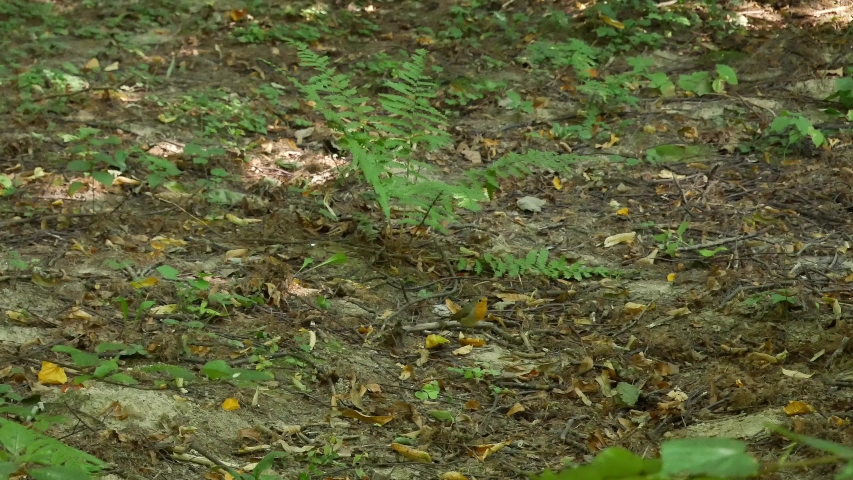 Robin is looking for food on the ground in the forest. | Shutterstock HD Video #1036075844