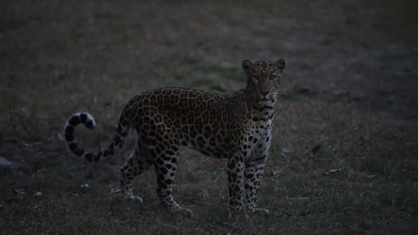 Twilight , The leopard waiting to ambush prey. At Huai Kha Khaeng Wildlife Sanctuary in Thailand. | Shutterstock HD Video #1036098314
