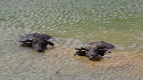 Two buffaloes in water