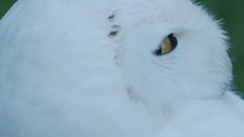 Snowy owl Bubo scandiacus is napping on grass. Beautiful white night bird.