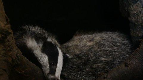Two European badgers (Meles meles) entering den / sett / burrow with sleeping juveniles in forest