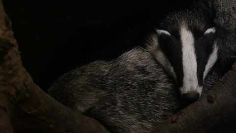 European badger (Meles meles) sleeping in den / sett / burrow in forest