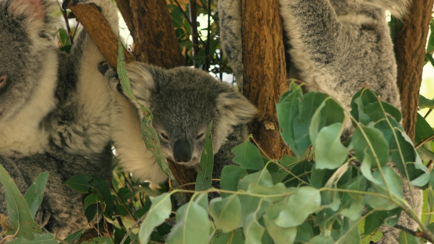 Cute Australian mother Koala with her joey in a tree resting during the day. | Shutterstock HD Video #1037172884