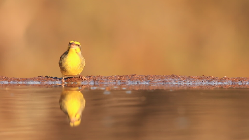 summer day of birds feeding and drinking like this yellow fronted canary | Shutterstock HD Video #1037219744