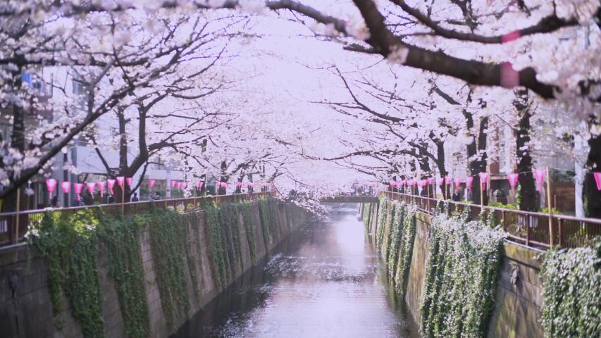 Meguro River Cherry Blossoms in Tokyo, Japan | Shutterstock HD Video #1037315234