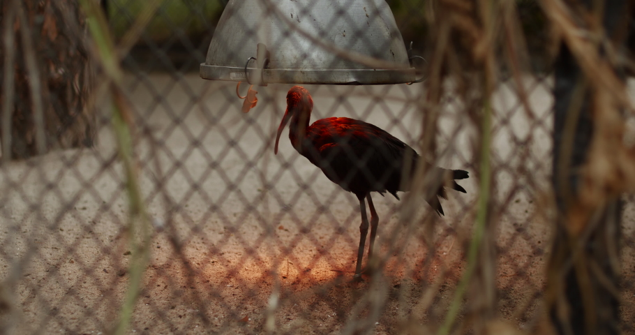 A small black bird with a long beak basks under a red lamp in its large cage | Shutterstock HD Video #1037358554