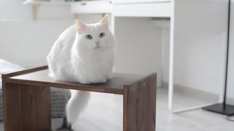 White turkish angora cat with different eyes meows