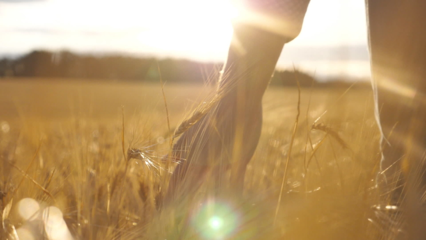 Close up of male hand moving over wheat growing on the plantation. Young man walking through the barley field and gently touching golden ears of crop. Sunlight at background. Rear view Slow motion #1038231074