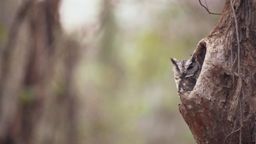 Indian Scops Owl Peeping out from the tree trunk in Nagzira Tiger Reserve, India