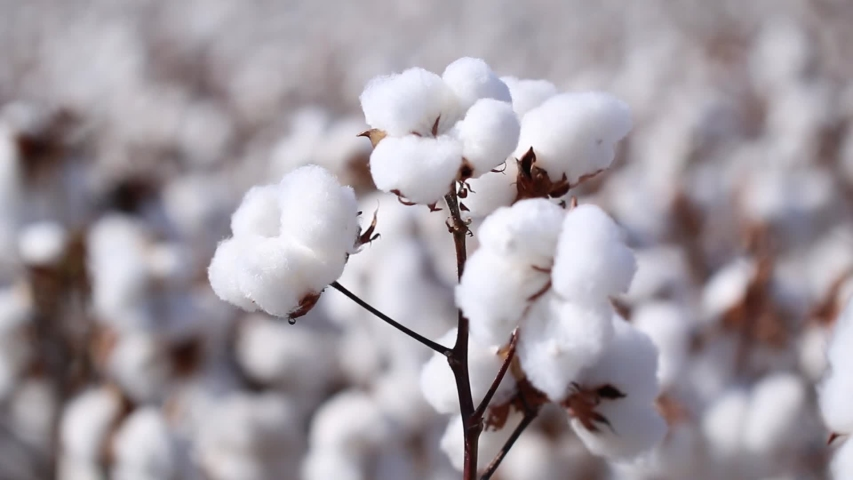 Agriculture, cotton in detail, cotton field at sunset, Brazilian agribusiness.   Shutterstock HD Video #1038690254