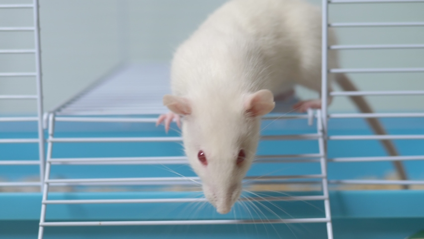 White rat in a cage. home pet. animal symbol of the year on the Chinese calendar. | Shutterstock HD Video #1039107134