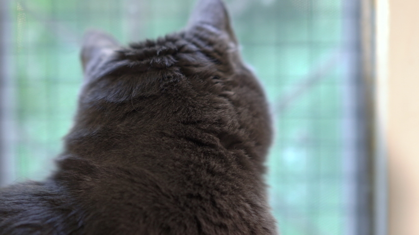 Indoor gray cat looking out window in the room. | Shutterstock HD Video #1039199384