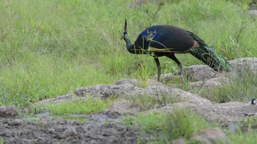 A peacock eats a grass seed. At Huai Kha Khaeng Wildlife Sanctuary, Thailand. | Shutterstock HD Video #1039230374
