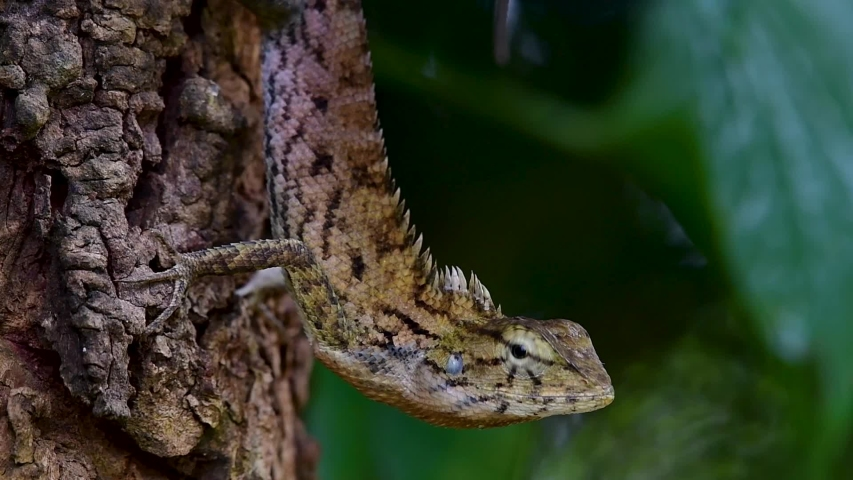 The Oriental Garden Lizard is also called the Eastern Garden Lizard, Bloodsucker and Changeable Lizard; it has the ability to change its colours according to its lifecycle and can be commonly found. | Shutterstock HD Video #1039280234