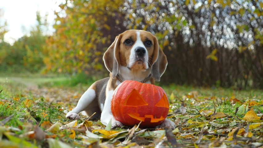 Lovely dog touch jack lantern by paw then put nose inside, looking straight to camera. Beagle portrait with traditional Halloween decoration, ripe pumpkin with carved face. Nice autumn park area | Shutterstock HD Video #1039320974